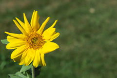 Einzelner gelber Goldenaster-Wildflower Stockfotografie