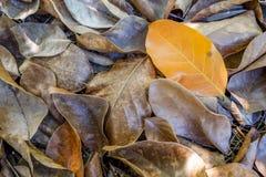 Einzelner gelber Urlaub auf trockenem Herbstlaubhintergrund Stockfotografie