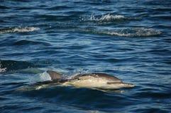 Einzelner gemeiner Delphin Stockfoto