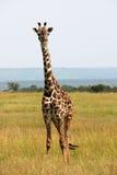 Einzelner Giraffeausblick Stockfotografie