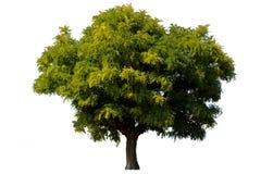 Einzelner grüner Akazienbaum getrennt Stockfotografie