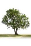 Einzelner grüner Baum Stockfotos