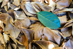 Einzelner grüner Urlaub auf trockenem Herbstlaubhintergrund Lizenzfreies Stockfoto