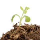 Einzelner Grünpflanzesprößling. Stockfotografie