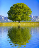 Einzelner großer alter Buchenbaum Lizenzfreies Stockbild