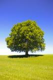 Einzelner großer alter Buchenbaum Stockbilder