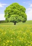 Einzelner großer alter Buchenbaum Lizenzfreies Stockfoto