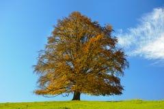 Einzelner großer alter Buchenbaum am Fall Lizenzfreies Stockfoto