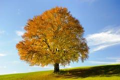 Einzelner großer Buchenbaum Lizenzfreie Stockfotos