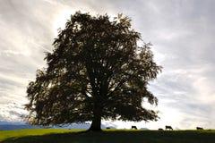 Einzelner großer Buchenbaum Lizenzfreie Stockbilder