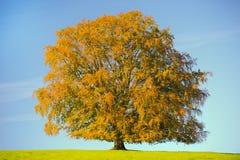 Einzelner großer Buchenbaum Lizenzfreie Stockfotografie