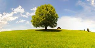 Einzelner großer Buchenbaum Stockfoto