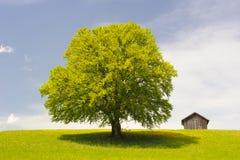 Einzelner großer Buchenbaum Lizenzfreies Stockfoto