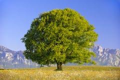 Einzelner großer Buchenbaum Stockbild