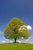 Einzelner großer Lindenbaum Stockfotos
