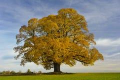 Einzelner großer Lindenbaum Stockfoto
