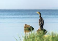 Einzelner großer schwarzer Vogelkormoran, der auf Felsen auf blauem Wasser sitzt und in den Abstand sonnigem Sommertag betrachtet Lizenzfreies Stockbild