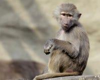 Einzelner Hamadryas-Pavian im zoologischen Garten Stockbilder