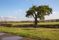 Einzelner Herbstbaum auf einem Weg in der Essex-Landschaft Lizenzfreie Stockfotos