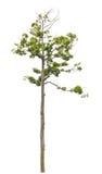 Einzelner hoher und schöner Baum. Lizenzfreies Stockbild