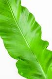 Einzelner junger grüner Blatt Farn Stockfotos
