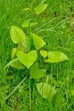 Einzelner junger Japaner knotweed Anlage im Gras - Fallopia-japonica Stockfoto