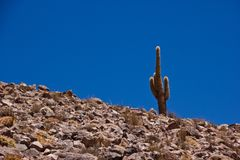 Einzelner Kaktus in Atacama/in Chile stockfoto