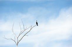Einzelner Kormoran auf dem trockenen Baum, der oben schaut Lizenzfreie Stockbilder
