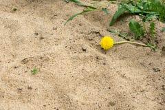 Einzelner Löwenzahn, der auf dem Sand liegt Lizenzfreies Stockbild