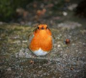 Einzelner männlicher Rotkehlchenvogel 2 stockfoto
