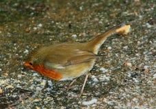 Einzelner männlicher Rotkehlchenvogel 3 lizenzfreies stockfoto