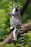 Einzelner Maki Katta - Katta im zoologischen Garten Lizenzfreies Stockfoto