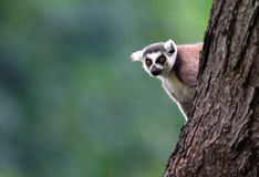 Einzelner Maki Katta - Katta im zoologischen Garten Lizenzfreie Stockfotografie