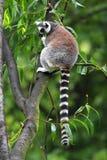 Einzelner Maki Katta - Katta im zoologischen Garten Stockfotografie