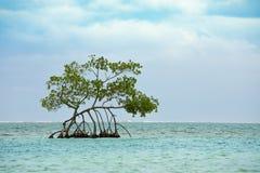Einzelner Mangrovenbaum, der im Türkiswasser des karibischen Meeres weg von Roatan wächst stockfotos