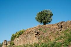Einzelner Olivenbaum und blauer Himmel Stockbild