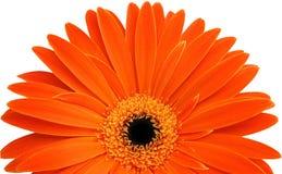 Einzelner orange Gerbera Lizenzfreie Stockfotografie
