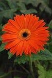Einzelner orange Gerbera im Garten Lizenzfreie Stockfotografie