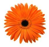 Einzelner orange Gerbera lokalisiert auf weißem Hintergrund Stockbild