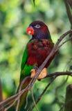 Einzelner Papagei (Trichoglossus haematodus, lorius chlorocercus) Lizenzfreies Stockbild