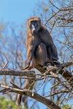 Einzelner Pavian, der auf trockenen blattlosen Baumasten sitzt Lizenzfreie Stockbilder
