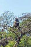 Einzelner Pavian, der auf trockenen blattlosen Baumasten sitzt Stockfotografie
