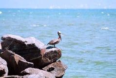 Einzelner Pelikan auf den Felsen stockfotos