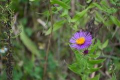 Einzelner purpurroter Neu-England Aster Wildflower von Ontario Stockfotografie