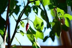 Einzelner roter Chile-Pfeffer, der auf Pfeffer-Anlage wächst lizenzfreie stockfotos