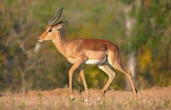 Einzelner roter Impala Lizenzfreies Stockfoto