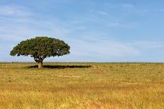 Einzelner schattiger Baum auf dem offenen afrikanischen Gebiet stockbilder