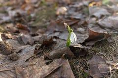 Einzelner Schneeglöckchenfrühling durch ` s des letzten Jahres verlässt Stockfoto