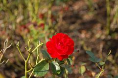 Einzelner Schuss einer roten Gartennelke stockfoto