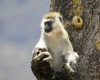 Einzelner Schwarz-gesichtiger Vervet-Affe in einem Baum Stockbild